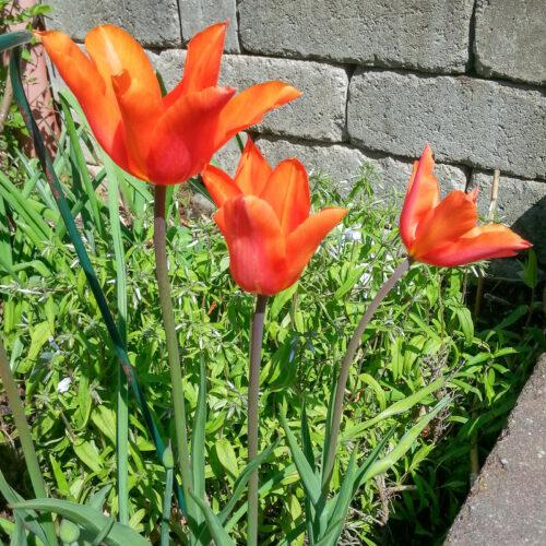Ballerina är en orange tulpan med mörkare flammor. Har en underbar doft av citrus och är en av de vackraste! Från 1980. Ca 55 cm.