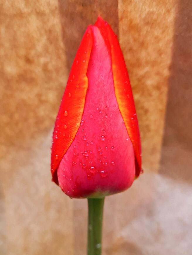 Tulpanen Avignon är en enkel hög senblommande tulpan som är eldigt rödorange – wow! Odlas i södra Frankrike för snittbloms-industrin. Från 1970. Ca 65 cm.