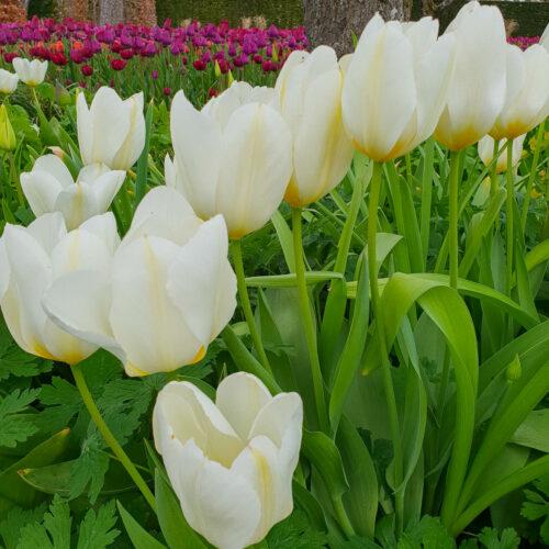 Tulpanen Purissima är en mycket stor mjölkvit doftande tulpan på kraftig stjälk. Bladen är grågröna. Mutant av Madane Lefeber. Kallas också White Emperor. Framtagen av Van Tuberger 1943. Ca 45 cm.