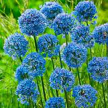 Allium Azurlök.