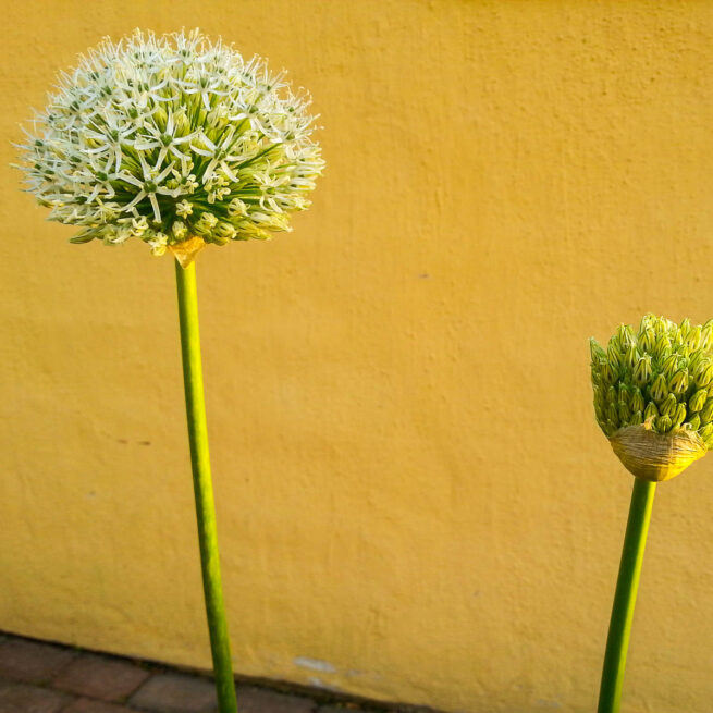 Allium Mount Everest.