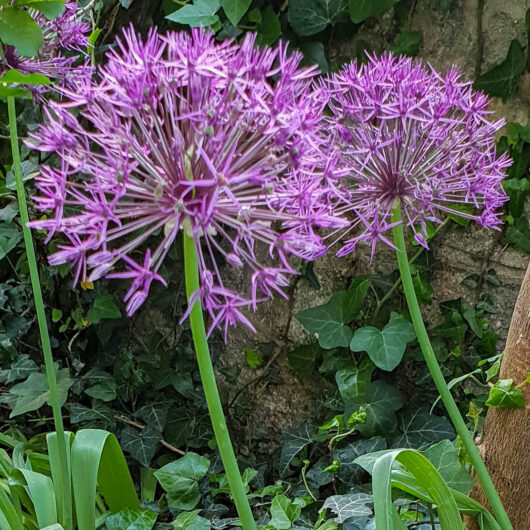 Allium Purple Rain.