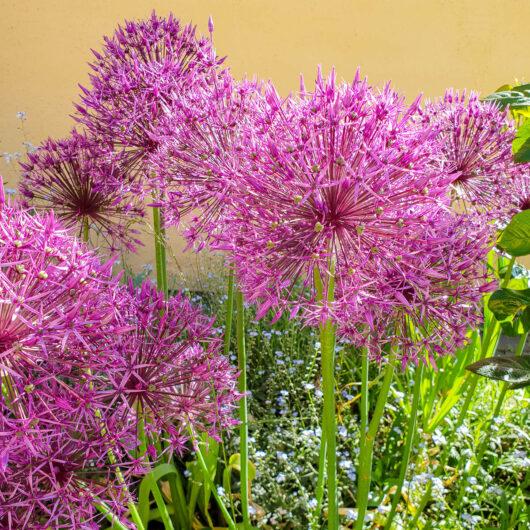 Allium Purple Sensation.