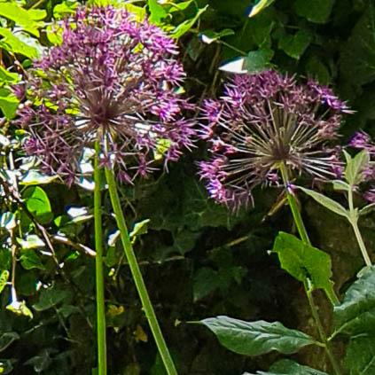 Allium Stäpplök.