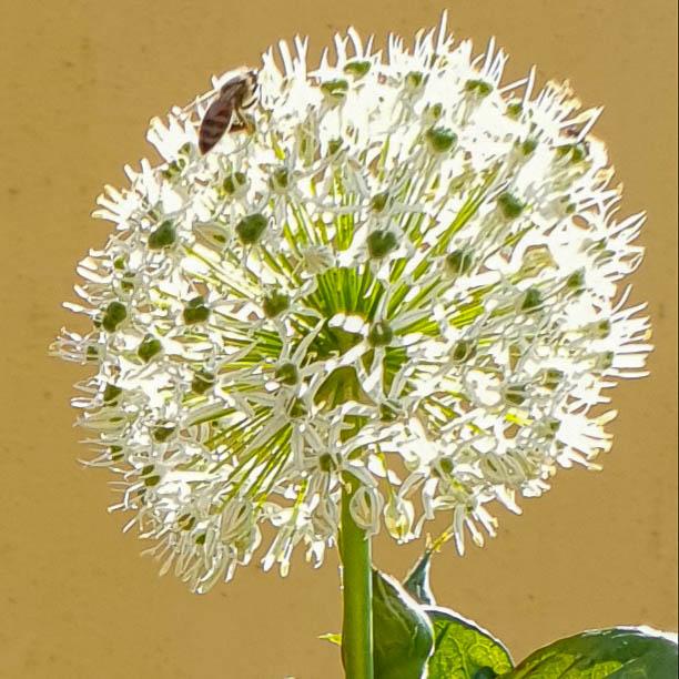 Allium White Cloud.