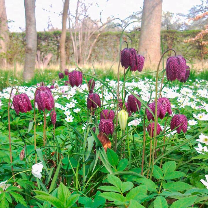 Fritillaria Kungsängslilja.
