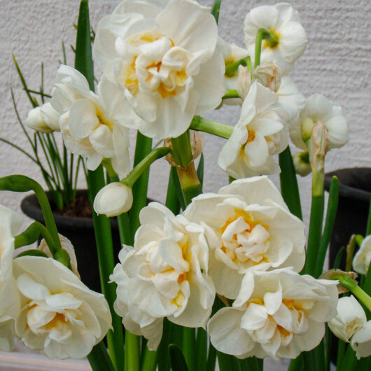 Narcissen Cheerfulness.