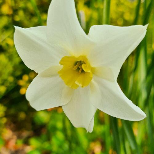 Narcissen Lieke är en ny rent vit mjuk blomma med gulgrön liten trumpet. Underbar doft och utmärkt som snittblomma. Ca 35–40 cm. Registrerad 2015.