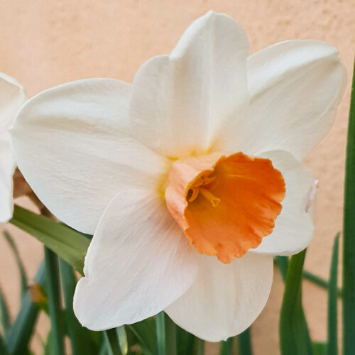 Narcissen Fragrant Rose.