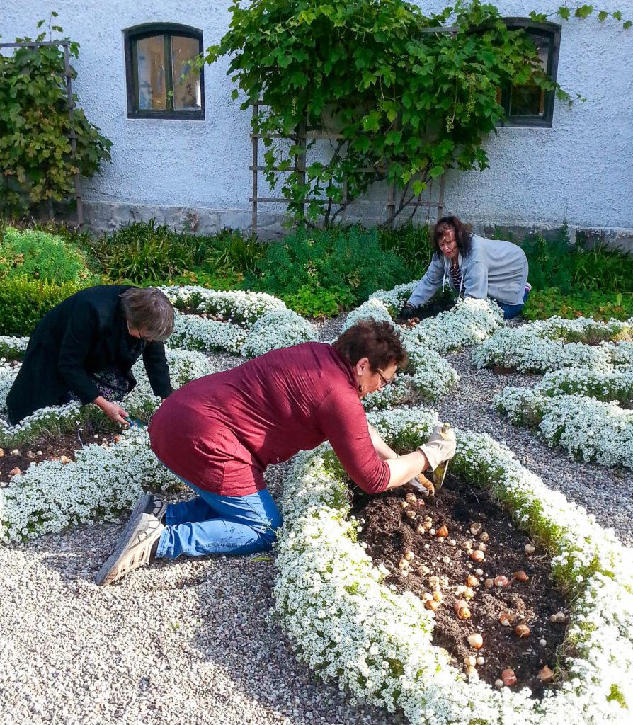 Plantering av tulpaner på Österlens Museum i Simrishamn.