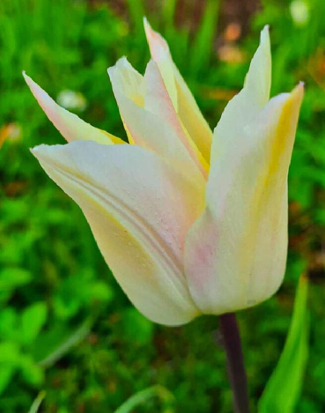 Tulipa 'Für Elise' är en greigiitulpan, svagt bärnstensgul på utsidan med svagt rosagula flammor. Insidan är korallfärgad med citrongul bas. Ca 30 cm.