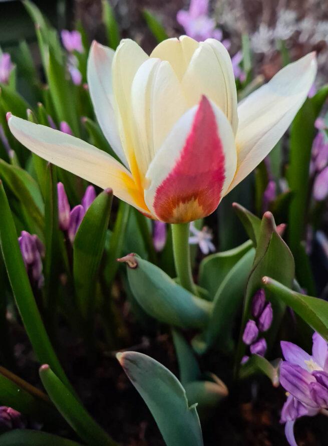 Tulipa 'The First' är en Kaufmanniatulpan som är en av de tidigaste. I vårsolen öppnar sig blomman nästa helt platt med en vit insida och gul botten medan utsidan är karminröd. Kallas på engelska Waterlilly tulip. Snygg att plantera många av.