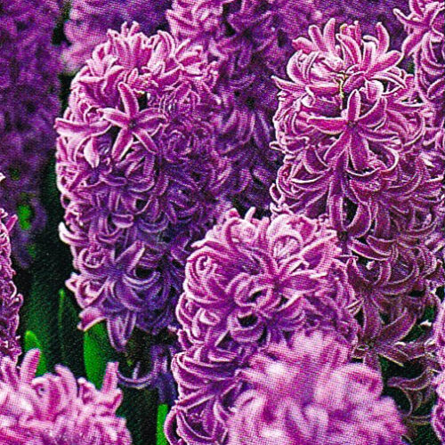 Hyacinten Purple Sensation.