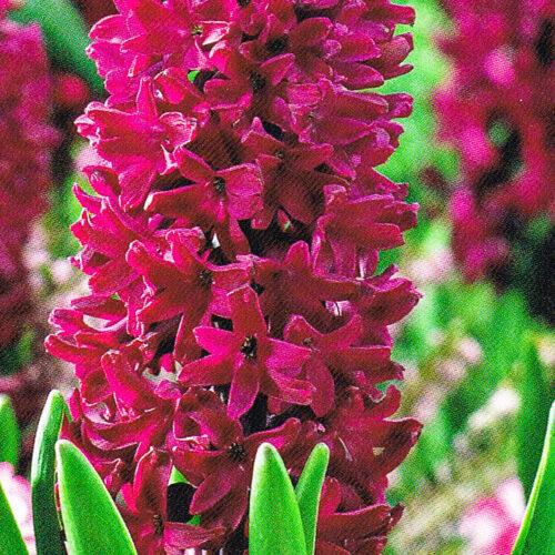 Hyacinten Woodstock.