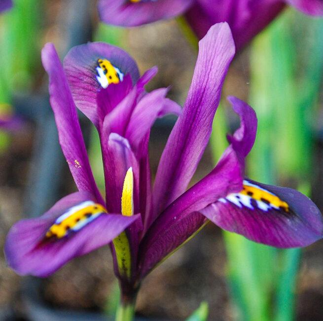 Irisen reticulata J.S. Dijt.