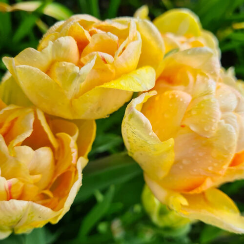 Tulpanen Charming Beauty är dubbel sen med en härligt aprikos/rosa/orange blomma som nästan påminner om en pion eller ros och som fungerar bra som snittblomma. Ca 45 cm.