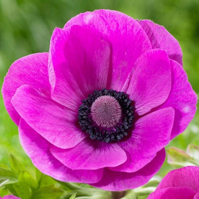 Anemone de Caen Sylphide har mörkt cerisfärgade enkla blommor med svart mitt. Ca 35 cm och fin även till snitt.