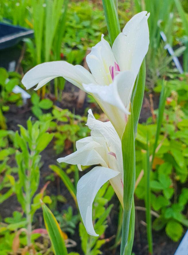 Gladiolus The Bride x colvillei