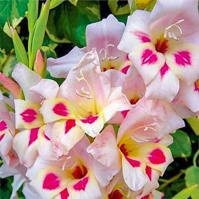 Gladiolus nanus Elvira