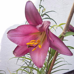 Lilium regale 'Pink Perfection'