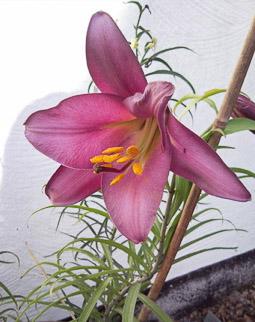 Lilium regale 'Pink Perfection'