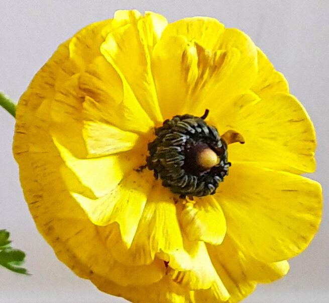 Ranunculus Asiaticus Tomer Yellow