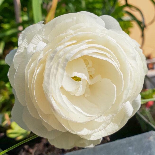 Ranunculus asiaticus Tomer White
