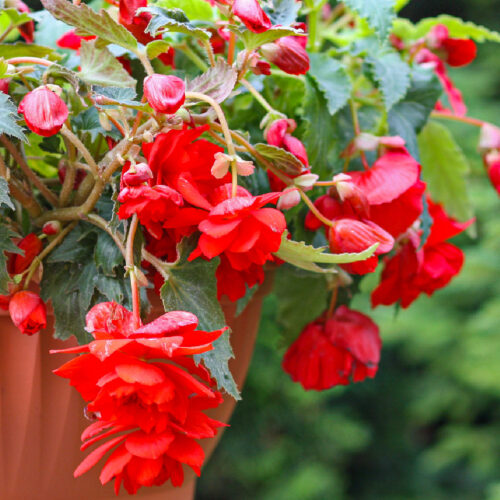 Begonia Pendula Red