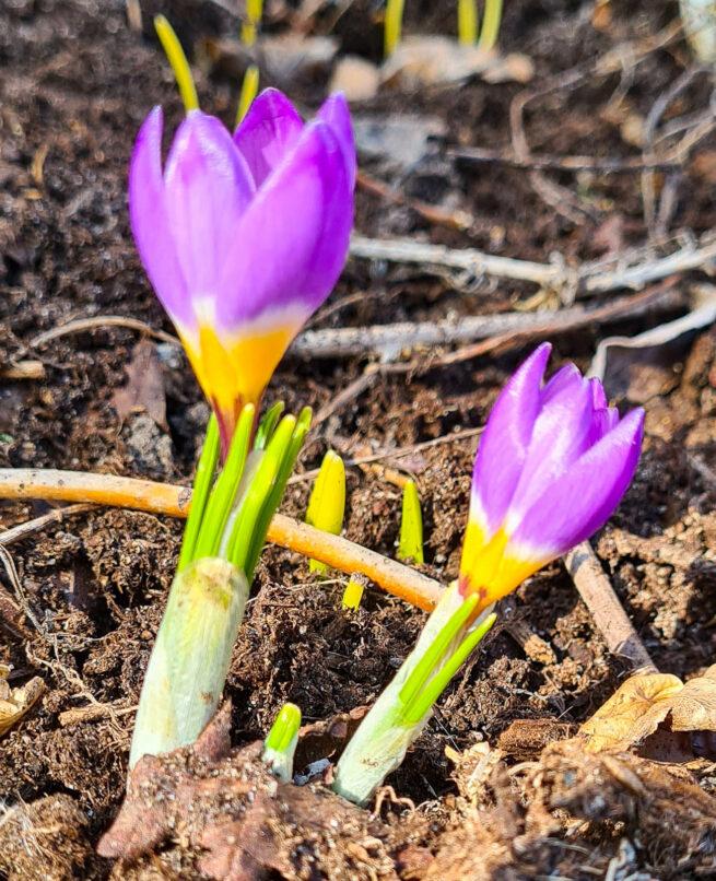 Grekisk krokus 'Tricolor' (crocus sieberi), är gul, vit och blålila i fält. Namnet Sieberi kommer från en botanist från Böhmen, Franz Wilhelm Sieber som levde 1789-1844.