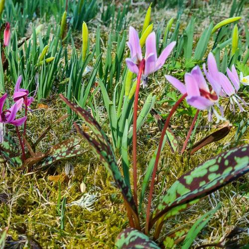 Hundtandslilja 'Lilac Wonder' (Erythronium dens-canis) är en rosalila hundtandslilja med grågröna blad som får brunvioletta fläckar. Kommer från Central- och Sydeuropa. Kan vara svår att få tag på men frösår sig, Vill gärna stå orörd, ha