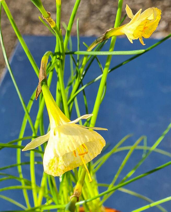 Narcissen 'Artic Bells' (Narcissus bulbucodium) är en vitgul kriolinnarciss och ser ut som att det endast är en trumpet, men den har smala, smala kalkblad kronan. Ca 10-15 cm och blommar i april-maj.