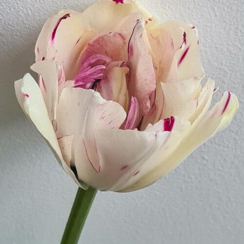 Tulpanen Danceline är en pionblommande vit tulpan med enstaka röda och gröna strimmor på en kraftig stabil stjälk. Har en utmärkande lång blomtid och passar därför alldeles utmärkt för buketter. Ca 40 cm. Blommar i maj. Dubbel sen.
