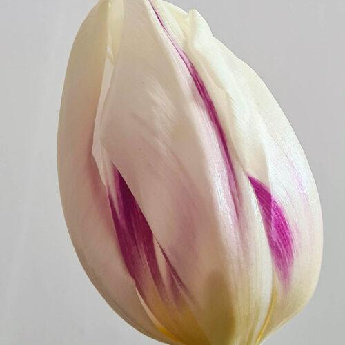 Tulpanen Flaming Flag, är en vit flammig triumph-tulpan med lila strimmor, en del kallar den rembrandttulpan. Blommar länge och lämpar sig utmärkt som snittblomma. Ca 40-60 cm och blommar i april-maj.