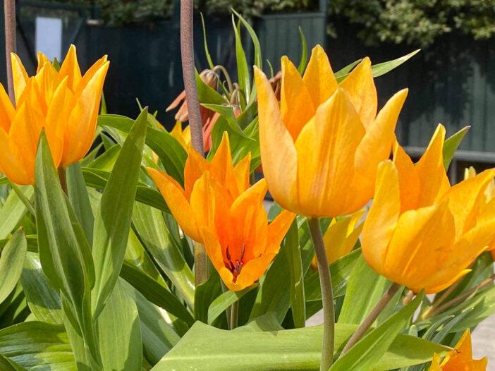 Tulpanen Praestans 'Shogun' är en mer okänd variant av praestans som kommer från Tadzjikistan. Hon ger fler och högre blommor jämfört med andra i samma grupp. Men det speciella är den magnifika färgen som en ringblomma gul och orange. Är en t
